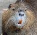 Nutria In California: Current Status And Response